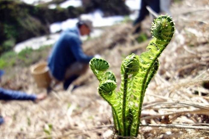 山菜採りの注意点