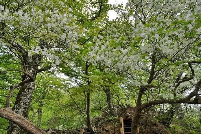 檜洞丸シロヤシオがきれいな展望園地