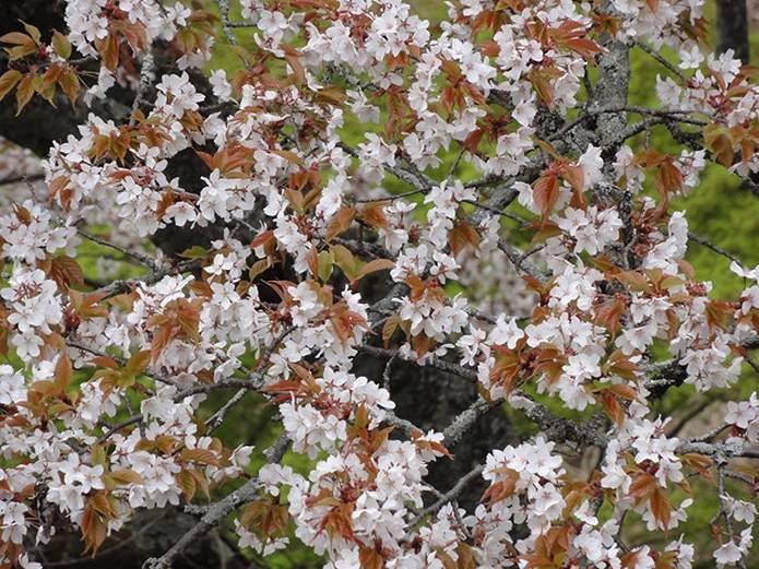 吉野山に自生している山桜