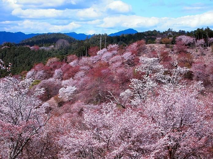 吉野山は桜の名所