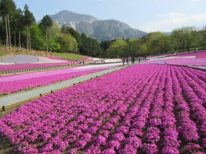 羊山公園芝桜と武甲山