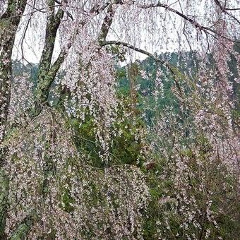 吉野山の枝垂桜も美しい