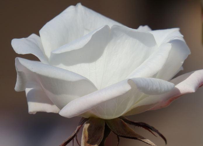 オリンパスのコンデジで撮影したバラ