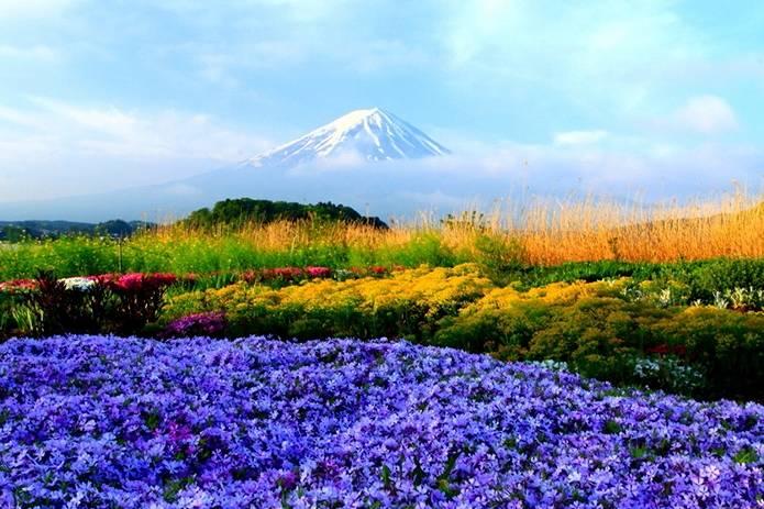 富士山 画像 花畑