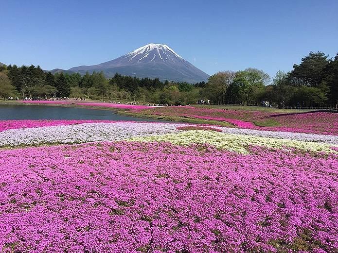 富士山画像 芝桜