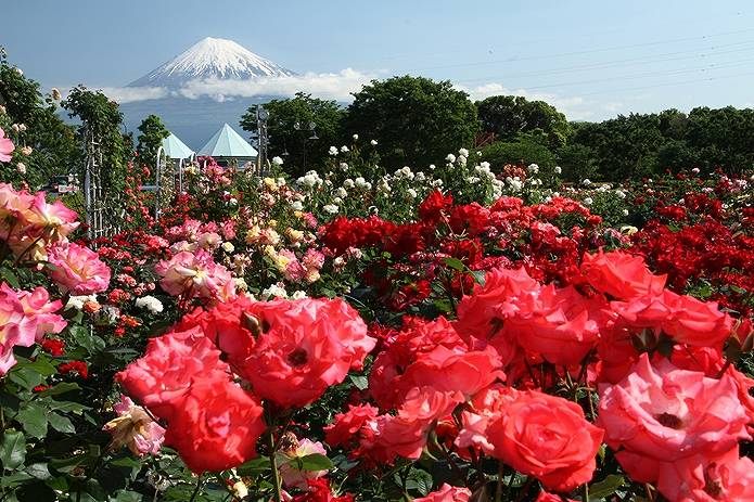 富士山 画像 バラ