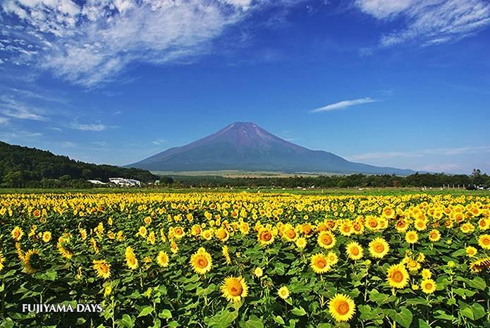 富士山 画像 ひまわり