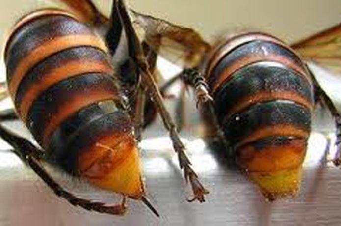 スズメバチの画像 p1_27