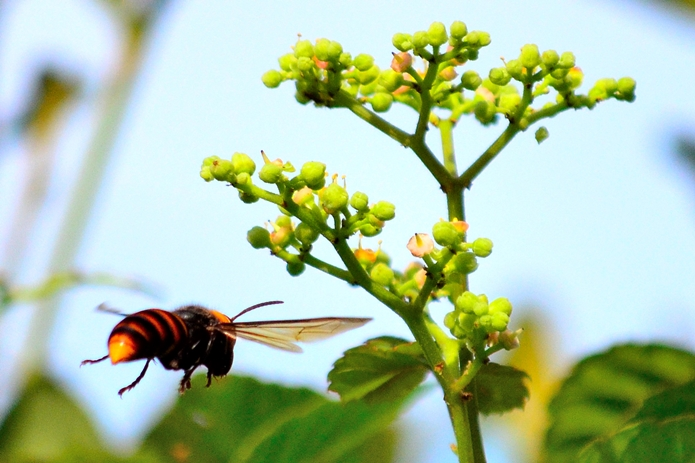 飛ぶスズメバチ