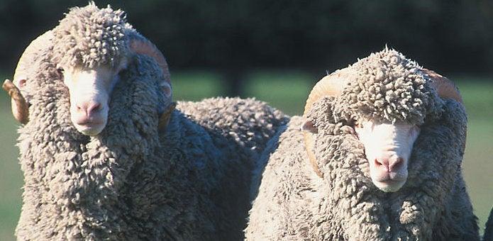 メリノウールを生み出す羊