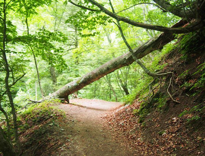 西沢渓谷のハイキングコースに倒れている木