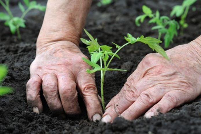 オボズ苗を植える