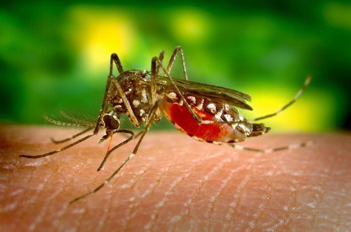 血を吸っている蚊