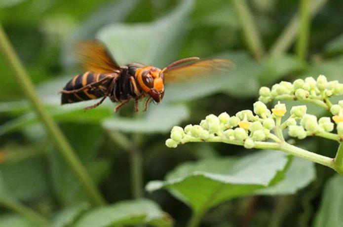 スズメバチの画像 p1_30
