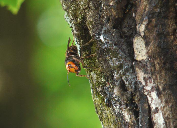 2樹液ポイントに来たオオスズメバチ