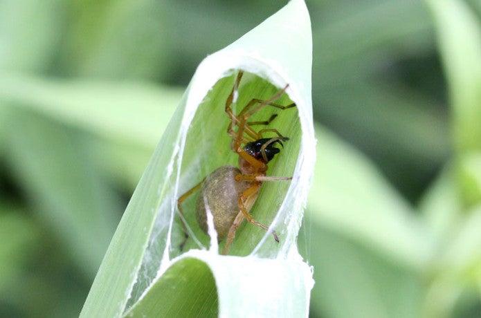 巣の中にいるカバキコマチグモ