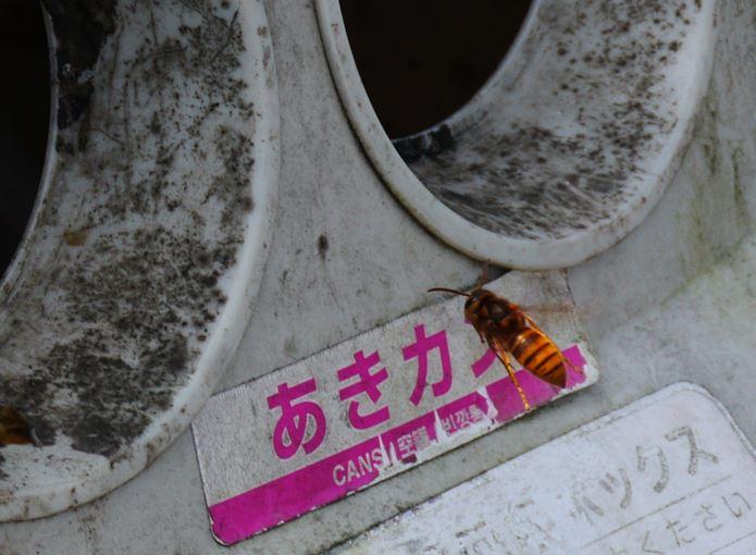 最新ジュースのニオイに誘われるキイロスズメバチ
