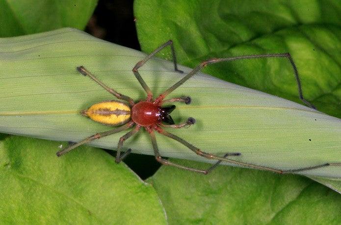 上から見たカバキコマチグモ