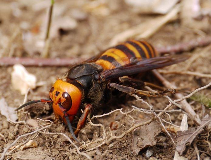 最新オオスズメバチ