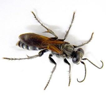 クロスズメバチの画像