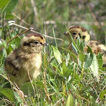 ライチョウ(雷鳥)のヒナ2羽