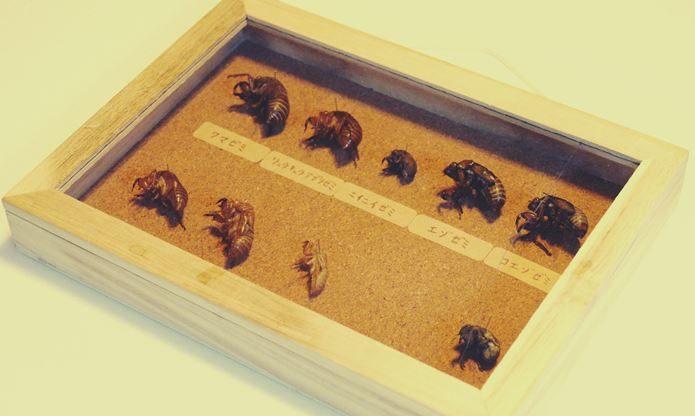 ①セミのインテリア標本