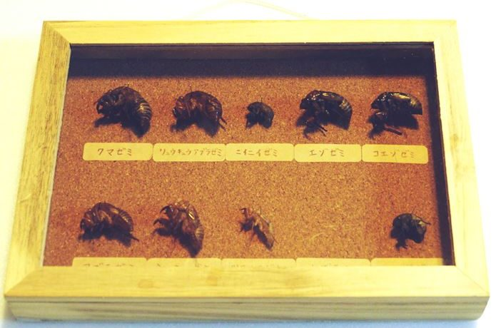 ①セミのインテリア標本2