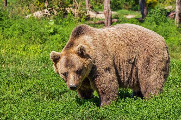 熊スプレーに近づくくま