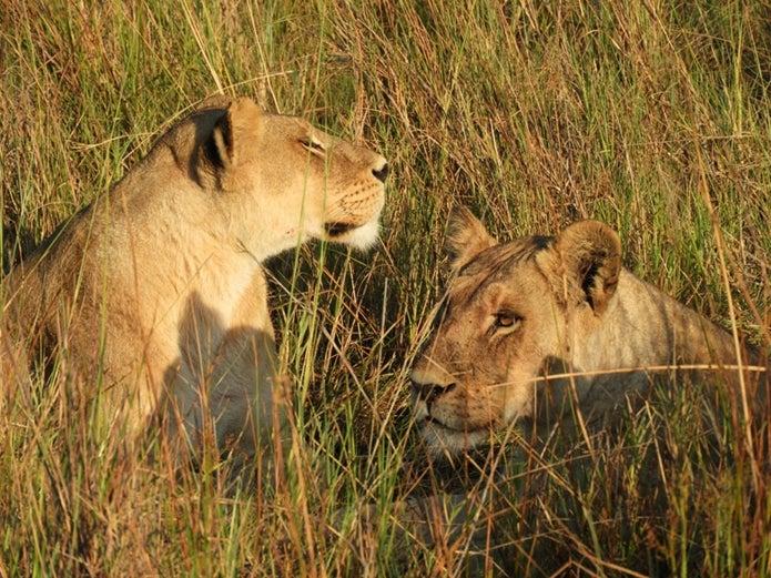 コンパクトなデジカメ撮影したライオン