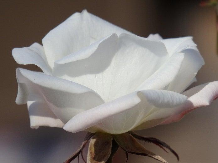 コンパクトデジカメのおすすめ製品で撮った白い花の写真