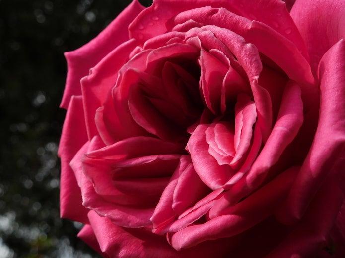 コンパクトデジカメのおすすめ製品で撮ったバラの写真