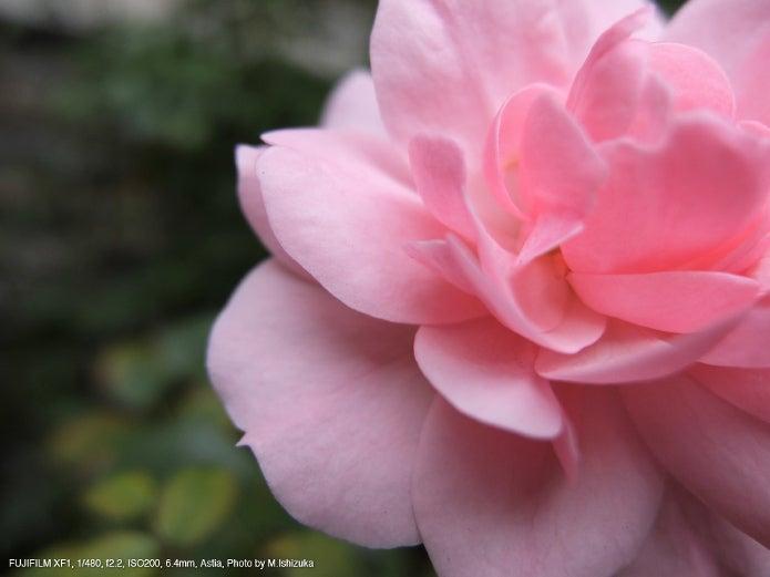 コンパクトデジカメのおすすめ製品で撮ったピンクのバラの写真