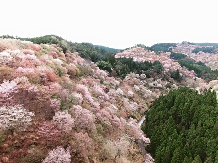吉野山の桜に癒されよう!