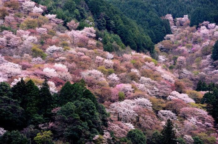 吉野山の桜を見に行こう!