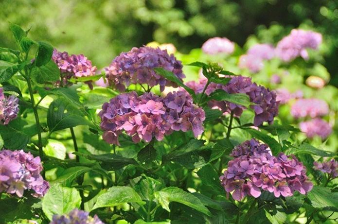夏の吉野山の紫陽花