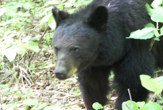 山中を走る熊