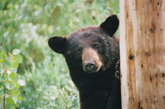 こちらを覗いている熊
