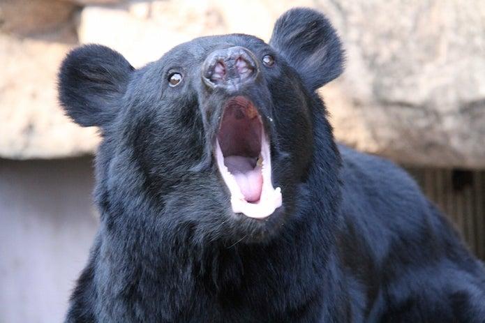 大きく口をあける熊