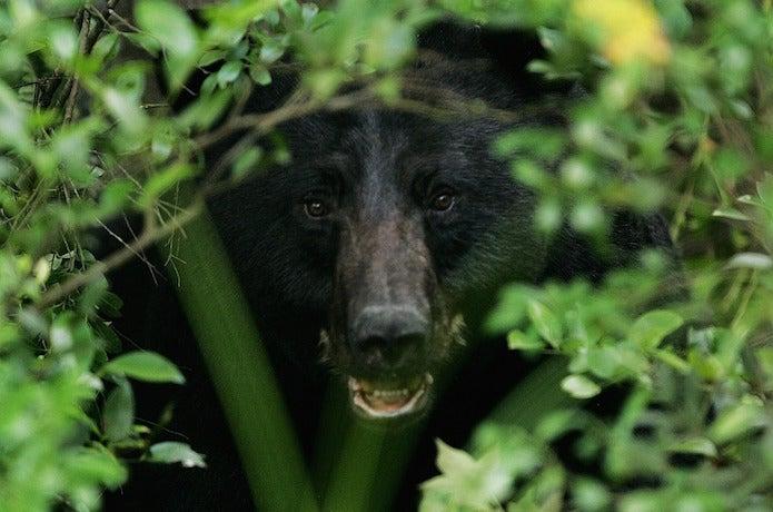 茂みからこちらを見えいる熊