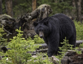 こちらを見ている熊の写真