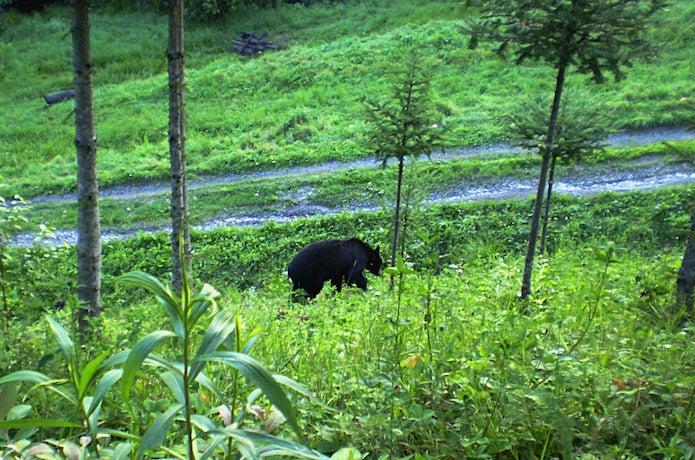 森の中を歩く熊