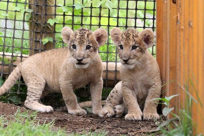 富士サファリパークのライオンの赤ちゃん