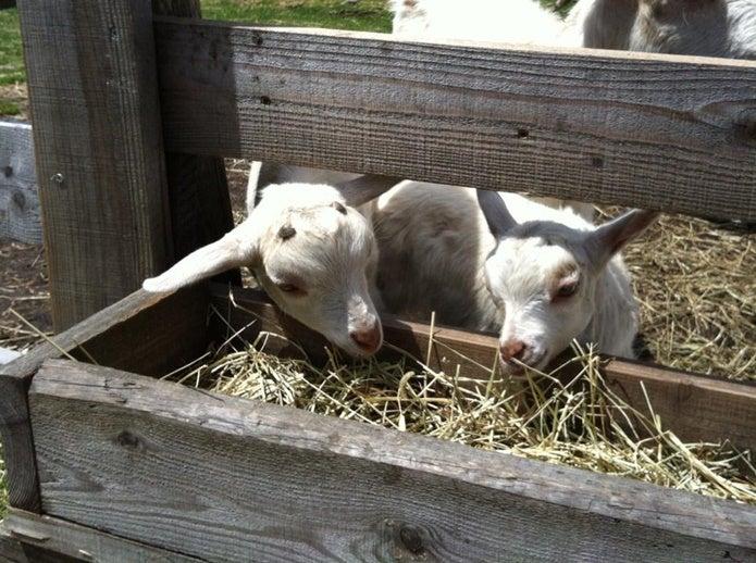 蓼科牧場の子ヤギの画像