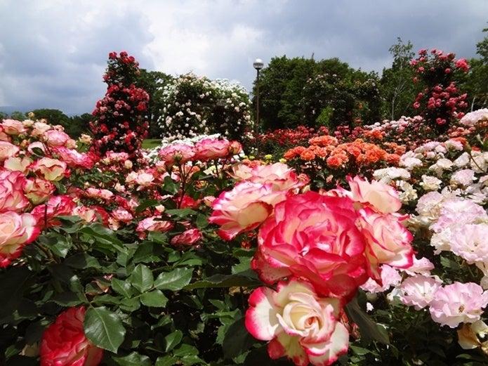 ぐんまフラワーパークのバラ