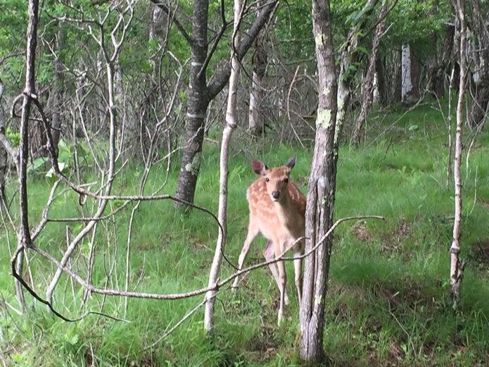 国師ヶ原高原の鹿