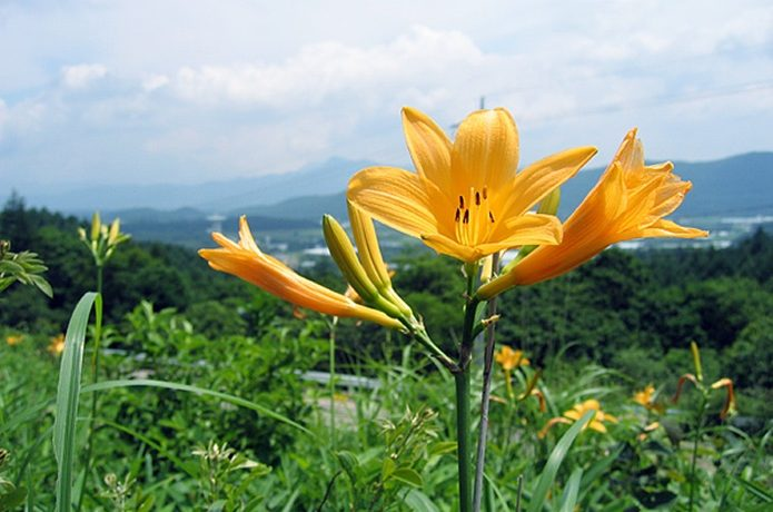 飯盛山で咲くニッコウキスゲの画像