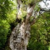 屋久島登山で見られる縄文杉の画像