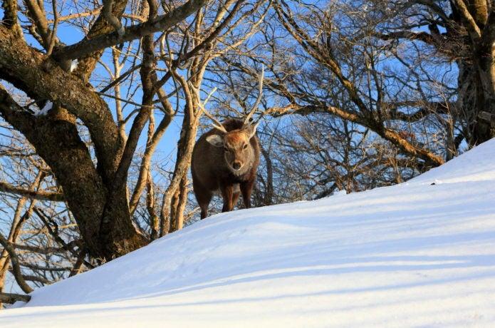 冬の塔ノ岳にいる鹿