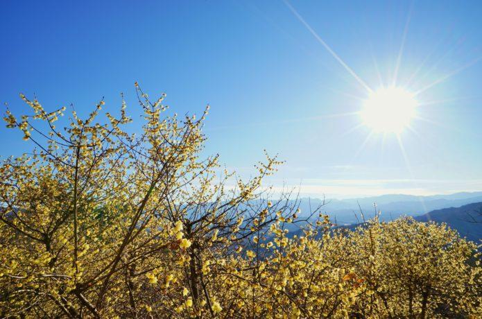 宝登山から見れるロウバイの画像