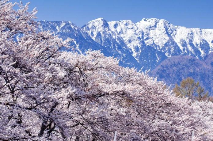 桜と南アルプスの山々の画像